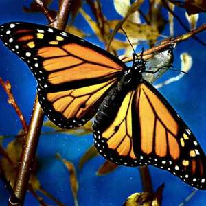 La Mariposa Monarca en su esplendor